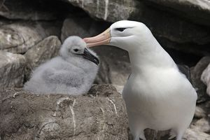 Black-browed Albatross / Black-browed Mollymawk