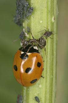 Black Garden Ant - protecting aphids from 7-spot Ladybird