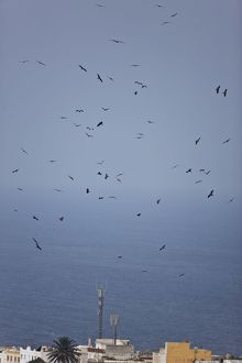 Black Kites - in flight on migration over Tarifa