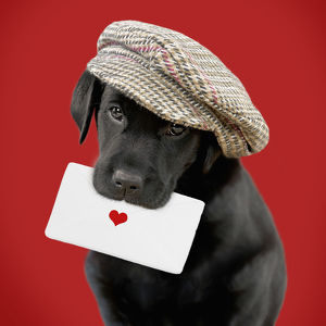 Black Labrador Dog, Puppy wearing cap holding letter with heart