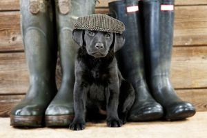 Black labrador puppy dog with a flat cap with wellington boots