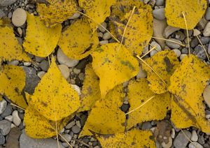 Black poplar: fallen leaves on riverside gravel