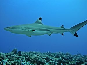 Black-tip / Blacktip Reef shark - male - considered harmless to man these sharks
