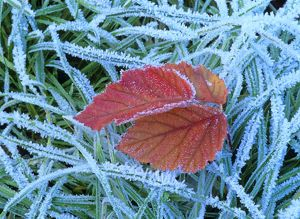 Blackberry leaf - in autumn colour amidst frost-covered grass