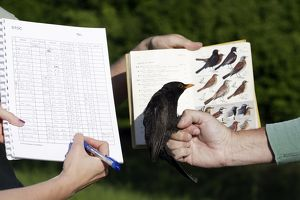 Blackbird - identifying and making notes on captured bird