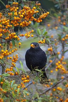 Blackbird - male eating Pyracantha Berries