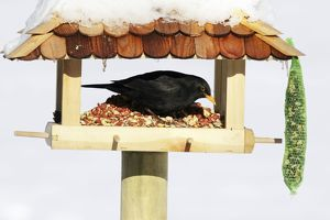Blackbird - male feeding at bird table in winter