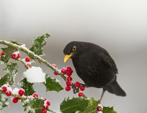 Blackbird - male feeding on Holly berries