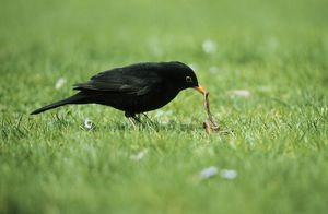 BLACKBIRD - male with worm