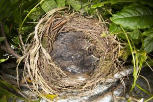 Blackbird - nest in Wisteria with young, (chicks 1-2 weeks old) summer