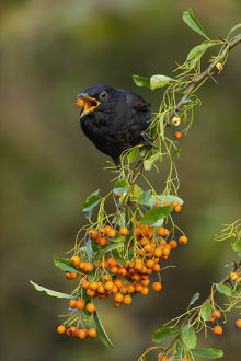 Blackbird - About to Swallow a Pyracantha Berry