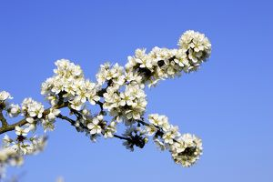 Blackthorn - in blossom