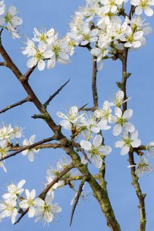 Blackthorn branch with flowers
