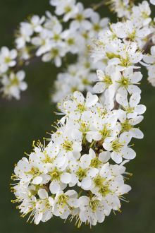 Blackthorn branch with flowers - in spring