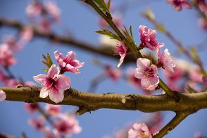 Blossom of Peach - in spring