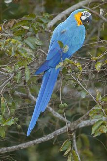 Blue-and-Yellow Macaw / Blue-and-Gold Macaw - single