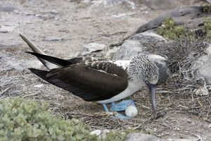 Blue-Footed Booby - with egg