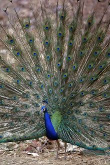Blue Indian Peafowl / Peacock - Displaying feathers