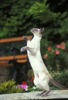 Blue Point Siamese Cat - on hind legs