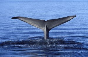 Blue whale - tail flukes