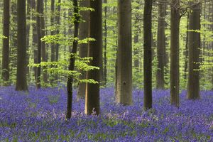 Bluebell Flowers - in forest with Beech Trees