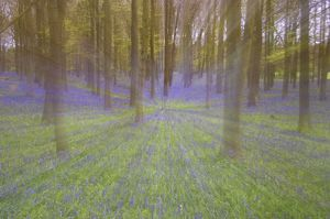 Bluebells - in Beech Woodland