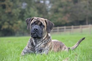 Boerboel dog - adult