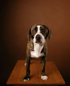 Boggle Dog - crossbreed between a Boston Terrier and a Beagle
