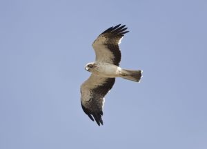 Booted Eagle - adult in flight on migration