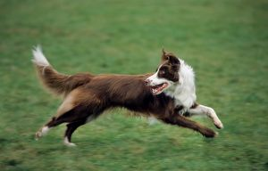 Border Collie brown running in garden looking backwards