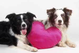 Border Collie Dog - two with heart cushion