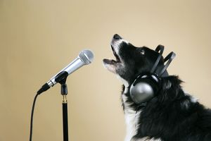 Border Collie Dog - with microphone & head phones