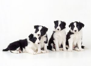 Border Collie Dog - puppies