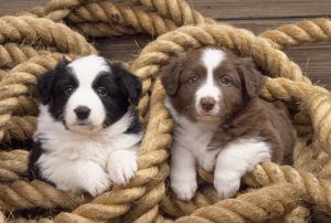 Border Collie Dog - puppies in rope
