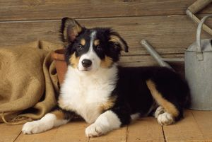 Border Collie Dog - puppy