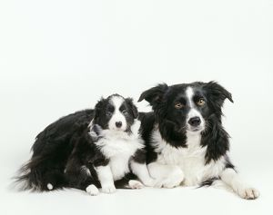 BORDER COLLIE DOG and puppy