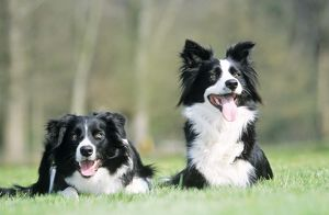 Border Collie DOG - x2 sitting on grass