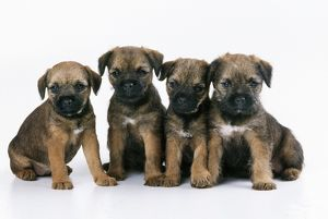 Border Terrier Dog - puppies