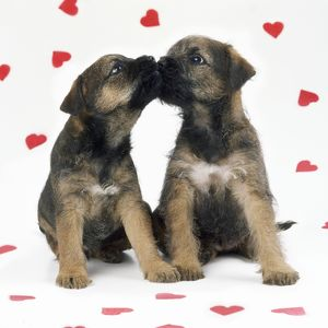 Border Terrier Dog - x2 puppies & red hearts