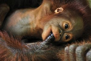 Borneo Orangutan - baby is sucking the finger of the mother