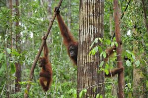 Borneo Orangutan - female and juvenile hanging from branch in tree