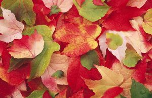 Boston Ivy LEAVES - in autumn
