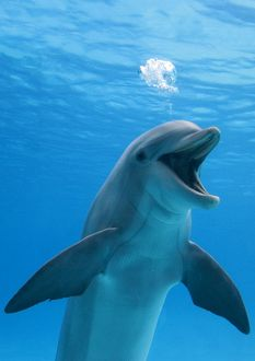 Bottlenose dolphin - blowing air bubbles underwater with mouth open
