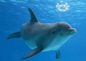 Bottlenose dolphin - blowing air bubbles underwater