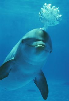 Bottlenose DOLPHIN - blows bubbles from blow hole, facing camera