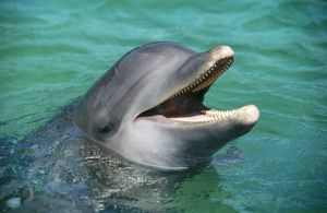 BOTTLENOSE DOLPHIN - Close-up of head