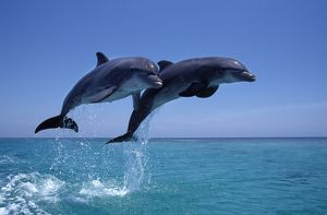 Bottlenose dolphin - two leaping