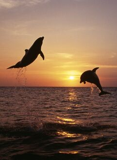 Bottlenose Dolphin - two leaping at sunset