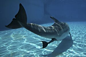 Bottlenose Dolphin - Mother giving birth to Baby / Calf.