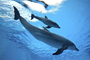 Bottlenose Dolphin - Newborn Baby / Calf with Mother immediately after birth